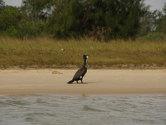 A cormorant saunters the beach at Langue de Barbarie National Park