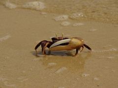 All the crabs had one massively dominant claw at the Langue de Barbarie National Park