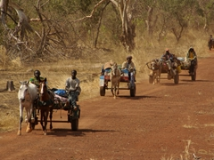 Horse cart convoy on a dirt road in the Senegal countryside
