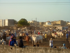 A huge turnout for the cattle market; Dakar