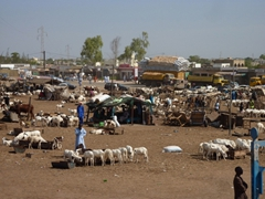 Dakar's cattle market