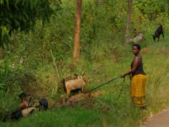 A woman attends to her goats by the road side. Its quite funny to see goats on a leash!