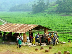 Tea plantation workers bringing leaves up to a collection point to be weighed