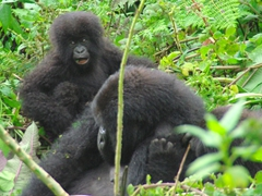 A juvenile gorilla plays around while its mother relaxes after a heavy meal