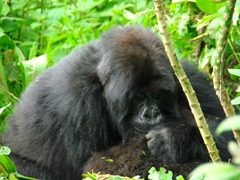 A mother gorilla grooming her baby; Volcanoes National Park