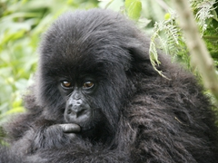 All gorillas have a unique marking on their nose similar to finger prints on humans