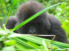 Profile shot of a shy female that recently joined the Ugenda gorilla family. According to our trackers, the silver back stole her from another family the day before we visited