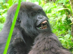 When this female mountain gorilla bared her teeth, all of us were in shock at how black they appeared