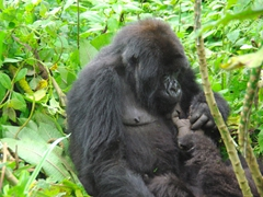 A mother grooming and delousing the feet of her child; Volcanoes National Park