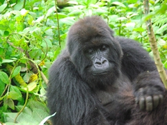 One of the female mountain gorillas keeps a close eye on her child as it rolls around in the grass