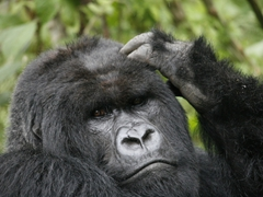 "Profile shot of the dominant silver back mountain gorilla of the ""Ugenda Family"""