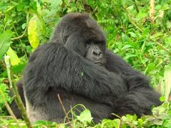 The big daddy silver back of the Ugenda gorilla family tolerates our presence