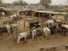 Cattle market; Abeokuta