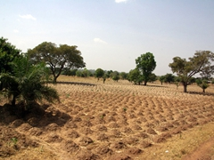 Cultivated fields such as this one are a dead giveaway for the upcoming cassava harvest