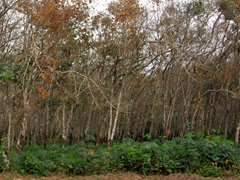 A rubber tree plantation; outskirts of Calabar