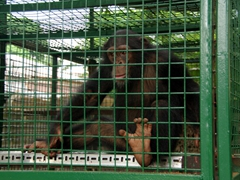 Rescued chimpanzee at the Drill Monkey Sanctuary; Calabar