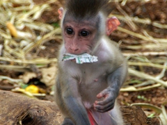 A baby drill monkey thrives on all the lavish attention he gets; Calabar's Drill Monkey Sanctuary