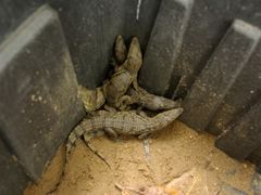 Baby crocodiles are also granted a safe haven at Calabar's Drill Monkey Sanctuary