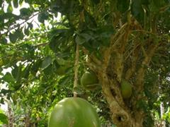 Breadfruit tree; Creek Town