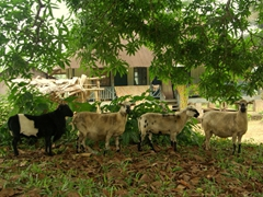 A line of curious sheep check us out; Creek Town