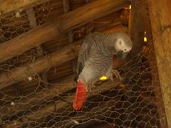 An inquisitive parrot eyeballs us; Afi Drill Ranch