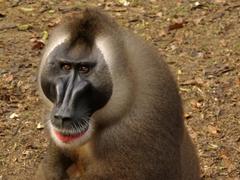 Male drill monkey; Afi Sanctuary