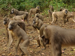 It is feeding frenzy time as the female drill monkeys attempt to scavenge food from the larger, more aggressive males