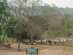 Cattle crossing; Nigerian countryside;