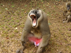A male drill monkey asserts his dominance (check out those sharp teeth!)