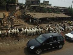 Goats feeding by the roadside; Abeokuta