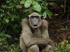 Portrait of a chimpanzee; Afi Drill Ranch Sanctuary