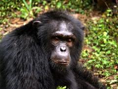 A sleepy chimpanzee checks us out; Afi Sanctuary