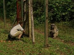 Sean checks out a chimpanzee; Afi Sanctuary