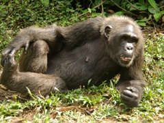 We found chimpanzees to be very humanlike, mimicking our poses and throwing rocks at us to get our attention; Afi Sanctuary