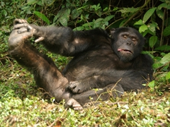This chimpanzee started acting goofy, grabbing his crotch and sticking out his tongue at us; Afi Drill Sanctuary