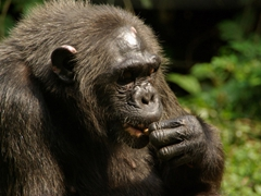 Deep in thought, this chimpanzee munches on a tasty treat of peanuts; Afi Drill Sanctuary