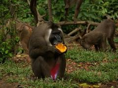 A drill monkey munches on a papaya; Afi Drill Sanctuary