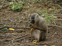 The Afi Mountain Drill Ranch staff specifically targeted female drill monkeys with babies for their papaya feeding program (although the more aggressive and larger male drill monkeys would attempt to steal their fruit)