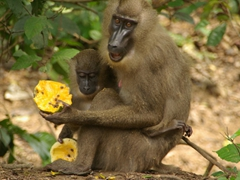 A happy mother and baby drill monkey enjoy their papaya treat