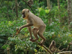Thanks in large part to the Afi Drill Sanctuary, drill monkeys have recovered in numbers over the past few decades
