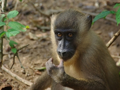 Close up of a juvenile drill monkey