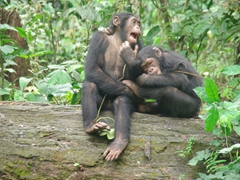Two young chimpanzees enjoying each other's company; Afi Sanctuary