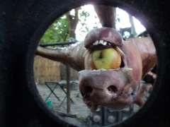 Upsidedown view of Gilbert with an apple stuffed in his mouth