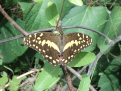 A massive butterfly poses for a photo; Lake Malawi