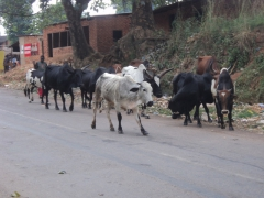 Cows walking down a main road in Malawi