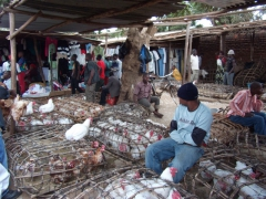 Live chickens for sale; Lilongwe market