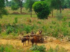Children loading up their ox-cart full of corn