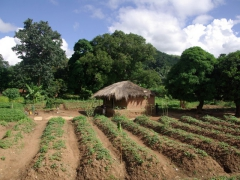 A typical Malawian dwelling in the countryside (complete with a field of produce)