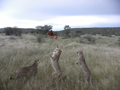 Feeding time for the cheetahs at Camp Otjitotongwe