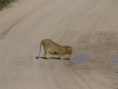 A male lion sips from a mud puddle in Etosha